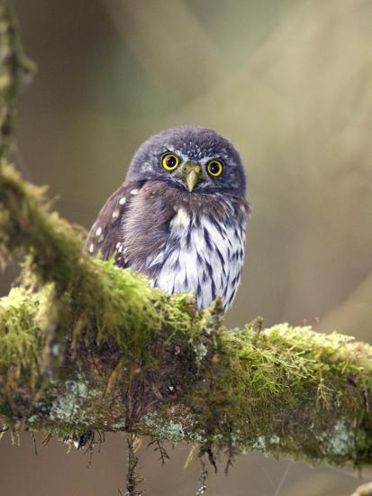 Northern Pygmy-Owl, Glaucidium Gnoma, in the Rainforest-Rich Reid-Photographic Print