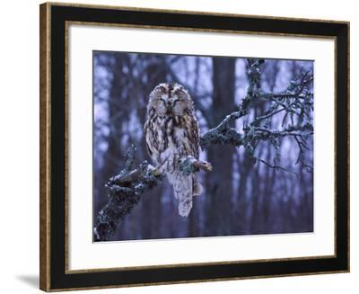 Northern Pygmy Owl on a Tree Branch--Framed Photographic Print