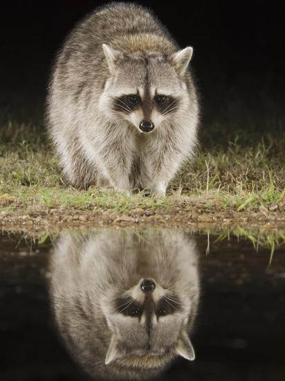 Northern Raccoon, Uvalde County, Hill Country, Texas, USA-Rolf Nussbaumer-Photographic Print