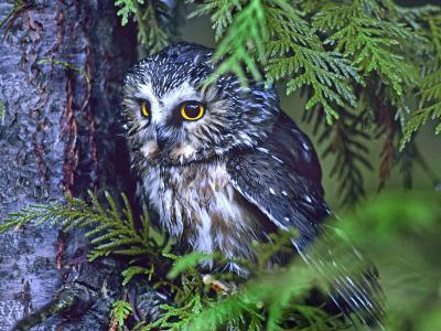 Northern Saw-Whet Owl, British Columbia, Canada-Tim Fitzharris-Photographic Print