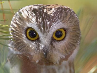 Northern Saw-Whet Owl Head-Richard Ettlinger-Photographic Print