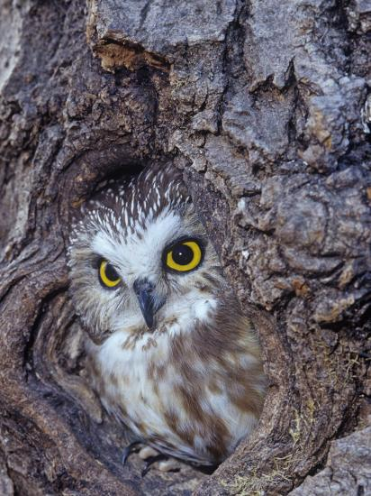 Northern Saw-Whet Owl in a Tree Hollow (Aegolius Acadius), North America-Tom Ulrich-Photographic Print