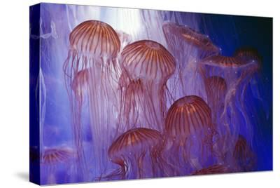 Northern Sea Nettle Jellyfish