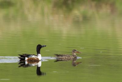 Northern shoveler ducks in a pond, Ninepipe WMA, Ronan, Montana, USA-Chuck Haney-Photographic Print