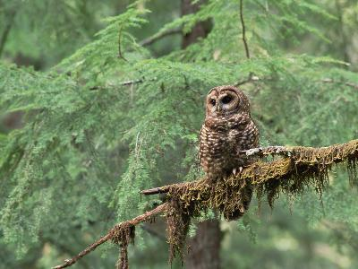 Northern Spotted Owl (Strix Occidentalis Caphus) Perching on Branch in Forest-Gerry Ellis-Photographic Print