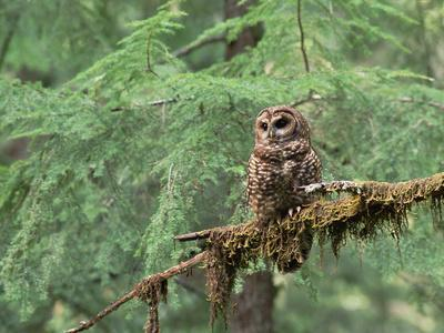 https://imgc.artprintimages.com/img/print/northern-spotted-owl-strix-occidentalis-caphus-perching-on-branch-in-forest_u-l-peukmf0.jpg?p=0