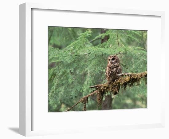 Northern Spotted Owl (Strix Occidentalis Caphus) Perching on Branch in Forest-Gerry Ellis-Framed Photographic Print