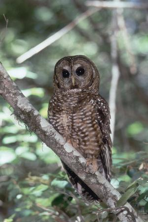 Northern Spotted Owl-DLILLC-Photographic Print
