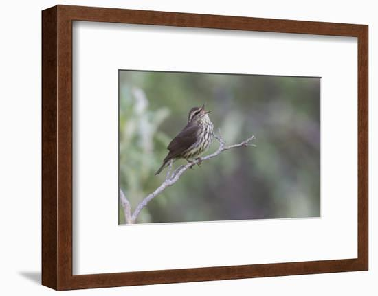 Northern waterthrush singing-Ken Archer-Framed Photographic Print