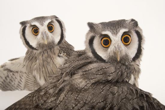 Northern White-Faced Owls, Ptilopsis Leucotis, at the Cincinnati Zoo-Joel Sartore-Photographic Print