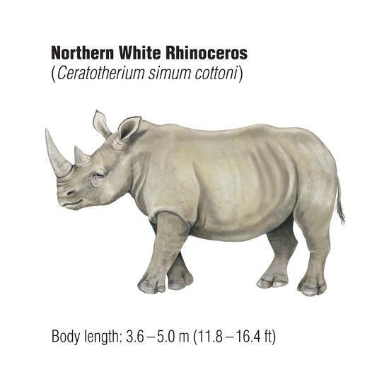 Northern White Rhinoceros (Ceratotherium Simum Cottoni), Mammals-Encyclopaedia Britannica-Art Print