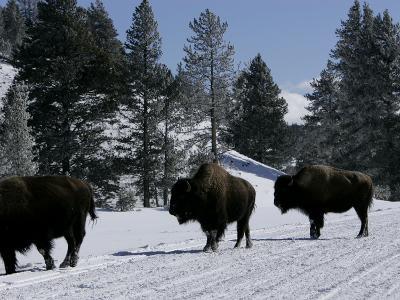 Norton Yellowstone-Laura Rauch-Photographic Print