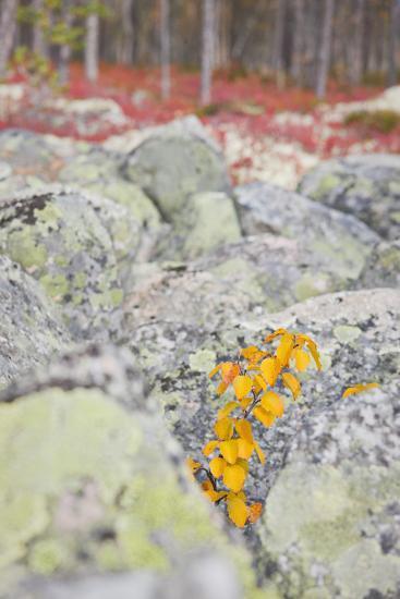 Norway, Hedmark, Femundsmark, Femund National Park, Birch, Autumn-Rainer Mirau-Photographic Print
