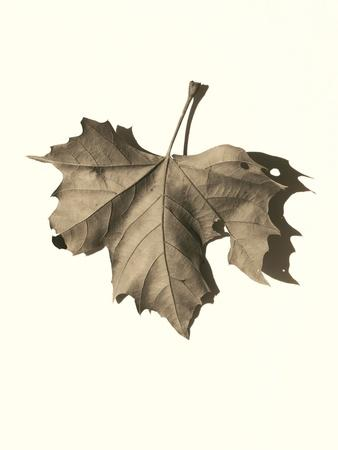 https://imgc.artprintimages.com/img/print/norway-maple_u-l-q1b7nyw0.jpg?p=0