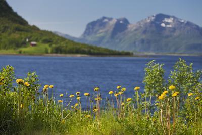 Norway, Northern Country, Steigen (Town), Sagfjorden, Straumfjorden, Flowers-Rainer Mirau-Photographic Print