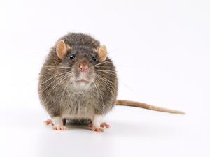 Norway Rat Facing