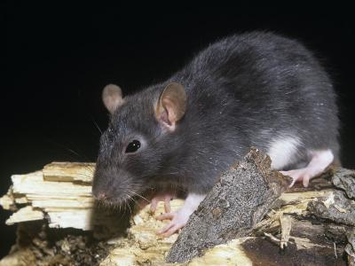 Norway Rat, Rattus Norvegicus-Joe McDonald-Photographic Print