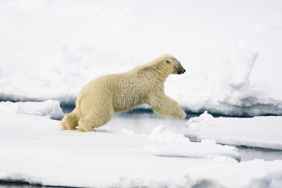 Norway, Spitsbergen, the Atlantic, Floes, Polar Bear, Ursus Maritimus, Jump-Frank Lukasseck-Photographic Print