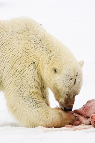 Norway, Spitsbergen, the Atlantic, Floes, Polar Bear, Ursus Maritimus, Prey, Eating-Frank Lukasseck-Photographic Print