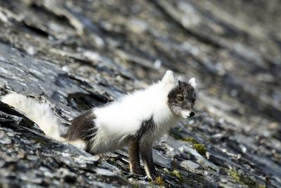 Norway. Svalbard. Barentsoya. Arctic Fox in a Mixed Coat-Inger Hogstrom-Photographic Print