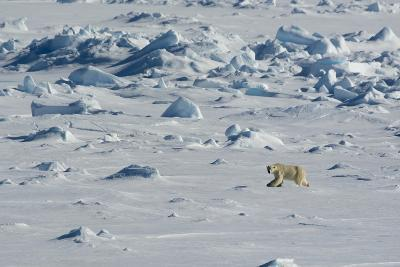 Norway. Svalbard. Hinlopen Strait. Polar Bear Walking on the Drift Ice-Inger Hogstrom-Photographic Print