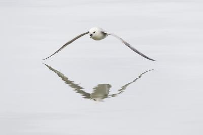 Norway, Svalbard, Northern Fulmar in Flight-Ellen Goff-Photographic Print