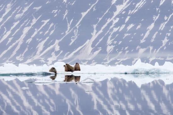 Norway, Svalbard, Pack Ice, Walrus on Ice Floes-Ellen Goff-Photographic Print