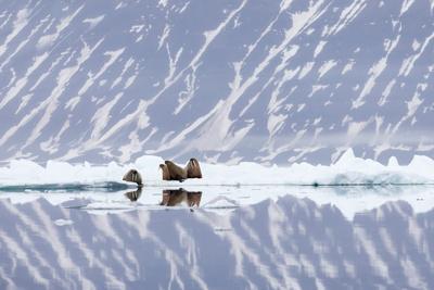 https://imgc.artprintimages.com/img/print/norway-svalbard-pack-ice-walrus-on-ice-floes_u-l-q13aw8q0.jpg?p=0