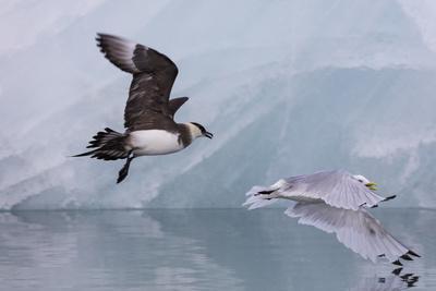 https://imgc.artprintimages.com/img/print/norway-svalbard-spitsbergen-arctic-skua-tries-to-steal-fish-from-black-legged-kittiwake_u-l-q13aot00.jpg?p=0