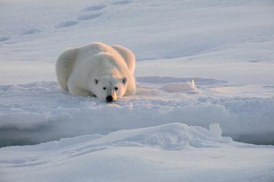 https://imgc.artprintimages.com/img/print/norway-svalbard-spitsbergen-polar-bear-rests-on-sea-ice-at-sunrise_u-l-q13aoye0.jpg?p=0