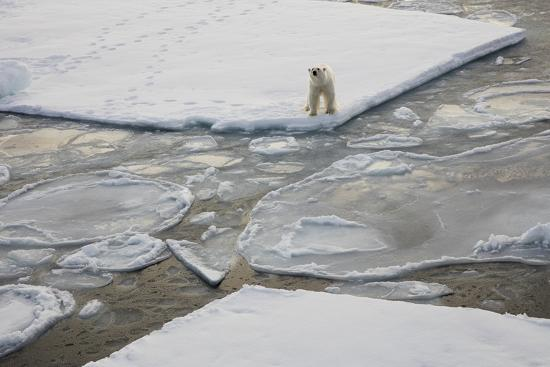 Norway, Svalbard, Spitsbergen. Polar Bear Stands on Sea Ice-Jaynes Gallery-Photographic Print