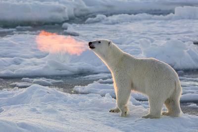 Norway, Svalbard, Spitsbergen. Polar Bear with Backlit Breath-Jaynes Gallery-Photographic Print
