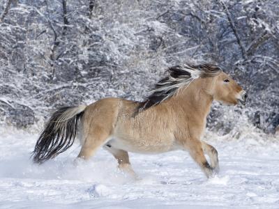 Norwegian Fjord Mare Running in Snow, Berthoud, Colorado, USA-Carol Walker-Photographic Print