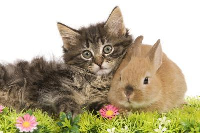 Norwegian Forest Kitten and Dwarf Rabbit--Photographic Print