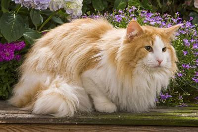 Norwegian Forest Lying by Flowers--Photographic Print