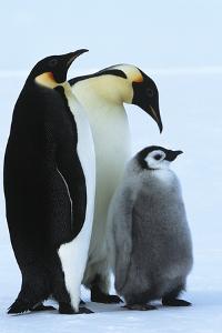 Antarctica Weddel Sea Atka Bay Emperor Penguin Family by Nosnibor137