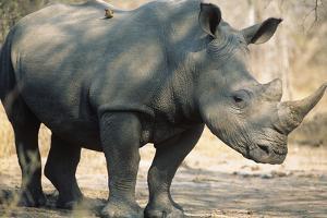 Black Rhinoceros (Ceratotherium Simum) by Nosnibor137