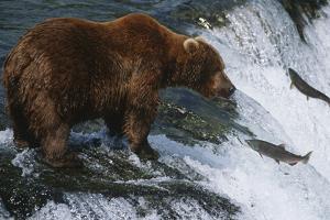 Brown Bear Grizzly Bear Looking at Salmon Katmai National Park Alaska Usa. by Nosnibor137