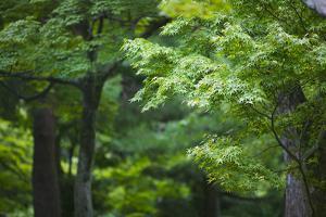 Japan Kyoto Tofuku-Ji Temple Maple Trees by Nosnibor137