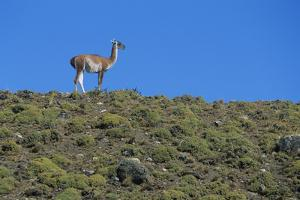 Llama Standing on Hillside by Nosnibor137