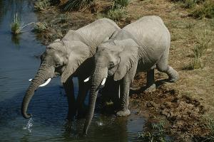 Namibia, Two African Bush Elephants Drinking Water from River, Elevated View by Nosnibor137