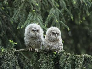 Two Owlets Perching on Tree Branch by Nosnibor137