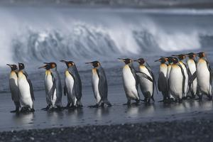 UK South Georgia Island Colony of King Penguins Marching on Beach Side View by Nosnibor137