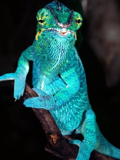 Nosy Be Blue Phase Panther Chameleon, Native to Madagascar-David Northcott-Photographic Print