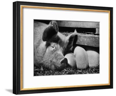 Not Pure Breds, Mixed Yorkshire Pigs, on Iowa Farm-Gordon Parks-Framed Premium Photographic Print