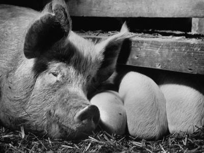Not Pure Breds, Mixed Yorkshire Pigs, on Iowa Farm-Gordon Parks-Photographic Print