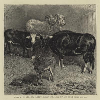 Notes at the Zoological Gardens, Brahmin Bull, Gayal Cow, and Hybrid Heifer and Calf--Giclee Print