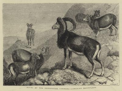 Notes at the Zoological Gardens, Corsican Moufflons--Giclee Print