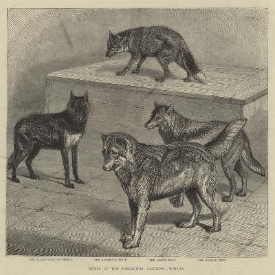 Notes at the Zoological Gardens, Wolves--Giclee Print