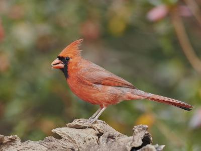 Nothern Cardinal-Gary Carter-Photographic Print
